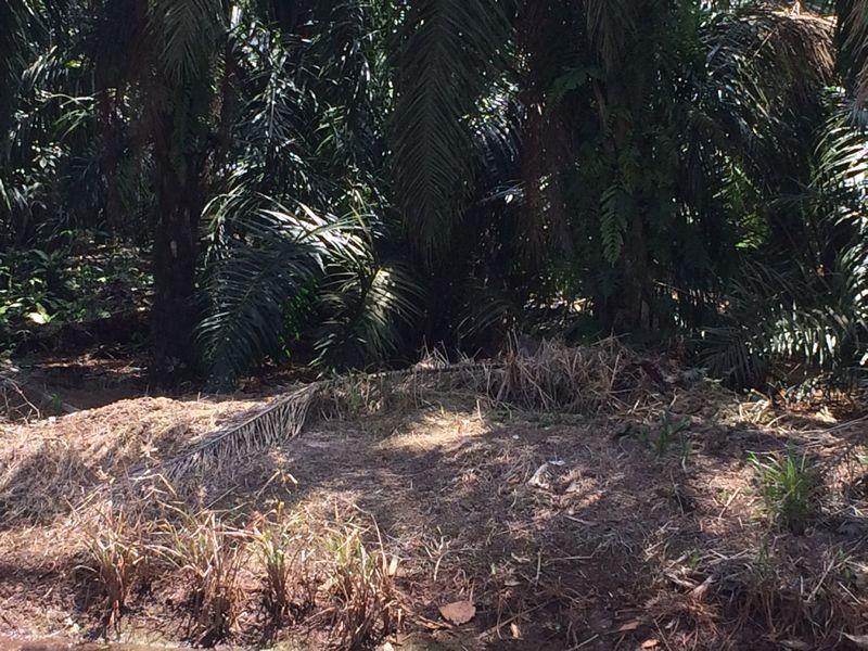 サルの群れがいたパーム椰子畑