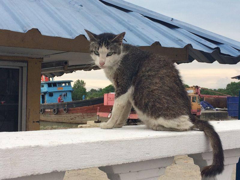 バトゥパハ税関前のネコ