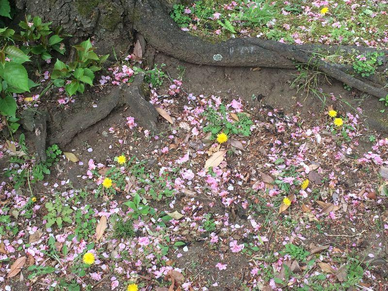 花びらでピンク色の地面