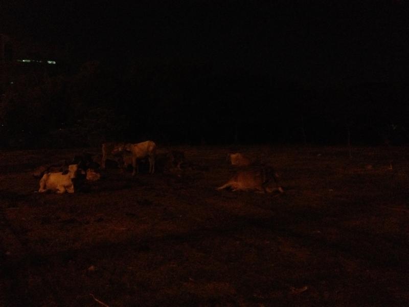 夜の牛たち