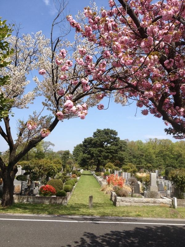 濃淡二色の桜