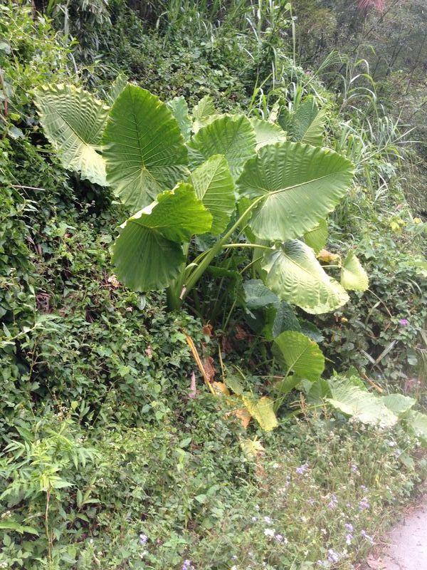 クワズイモの大きな葉っぱ