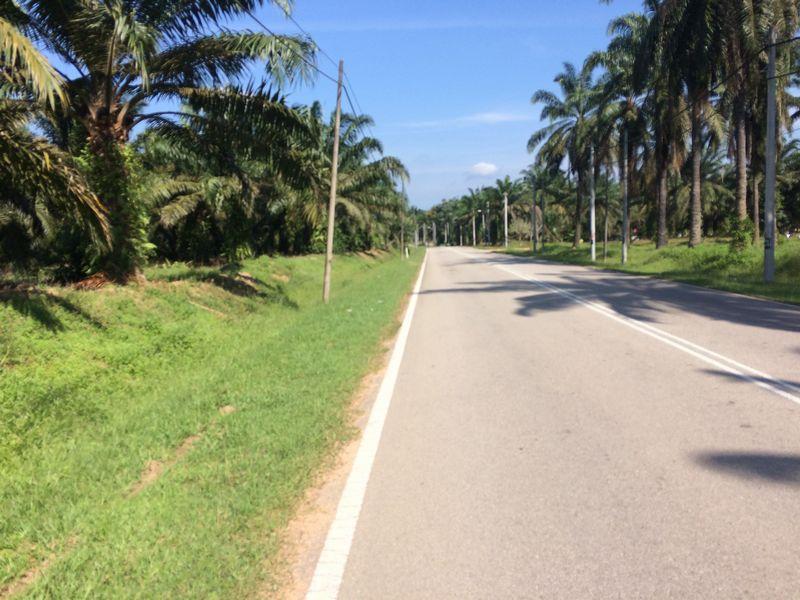 道の両脇はパーム椰子畑