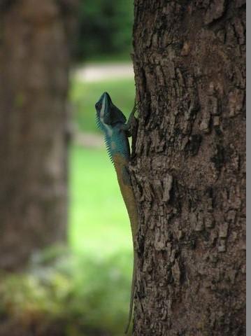木登りトカゲ